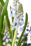 Grape hyacinth. Muscari, also called grape hyacinth, is a genus of perennial plants that produce spikes of dense, most commonly blue, urn-shaped flowers Stock Images