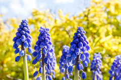 Muscari Armeniacum Image stock