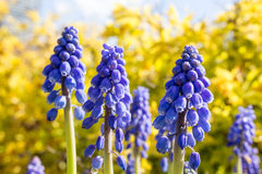 Muscari Armeniacum Photos stock