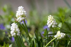 Muscari armeniacum album w kwiacie, biała gronowego hiacyntu biała kwiatonośna roślina, zdjęcia stock