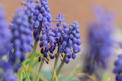 Muscari armeniacum. Beautiful view of a blue muscari flowers Stock Images