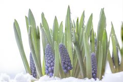 Muscari armeniacum botryoides or grape hyacinth in the snow royalty free stock image