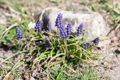 Muscari armeniacum botryoides lub gronowy hiacynt obraz stock