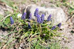 Muscari armeniacum botryoides oder Traubenhyazinthe stockbild