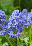 Muscari armeniacum Fantasy Creation Royalty Free Stock Images