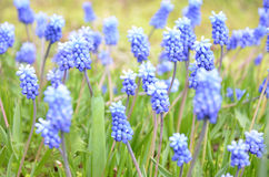 Muscari armeniacum flower in a defocused spring garden Stock Photo