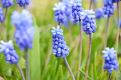 Muscari armeniacum flower in a defocused spring garden Royalty Free Stock Photos