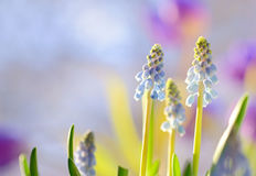 Muscari armeniacum flowers Stock Image