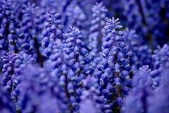 Muscari armeniacum or grape hyacinth. In garden 'Keukenhof', Holland Royalty Free Stock Photos