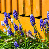 Muscari armeniacum. Grape hyacinths in the garden with orange fe Stock Image