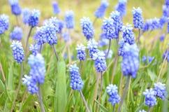 Muscari armeniacum kwiat w defocused wiosna ogródzie zdjęcie stock