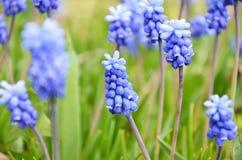 Muscari armeniacum kwiat w defocused wiosna ogródzie zdjęcia royalty free