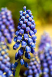 Muscari armeniacum Stock Photography