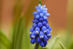 Muscari Armeniacum Royalty Free Stock Image