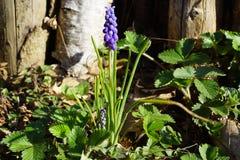 Muscari armeniacum - spring stock photography