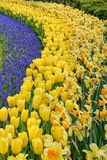 Muscari Armeniacum, Tulipa Candela, Narcis Fortissimo in dutch spring Keukenhof. Muscari Armeniacum, Tulipa Candela, Narcis Fortissimo. Numerous publicly stock photos