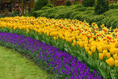 Muscari Armeniacum, Tulipa Candela, Narcis Fortissimo. Numerous publicly accessible fields in bloom in dutch spring Keukenhof Gardens in the Netherlands stock photography