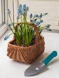 Muscari azul en la cesta y la pala Imagen de archivo