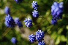 muscari błękitnego kwiatu światła słonecznego zakończenia ogródu hiacyntowa natura Obrazy Royalty Free