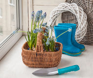 Muscari in the basket and shovel Royalty Free Stock Photography