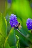 Muscari and bee Royalty Free Stock Photos