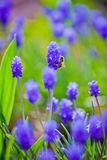 Muscari and bee Stock Image