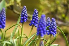 Muscari blüht das Blühen im Garten, Frühlingszeit Lizenzfreies Stockbild