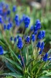 Muscari blauwe bloemen Royalty-vrije Stock Fotografie