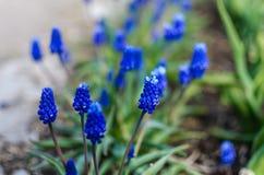 Muscari blauwe bloemen Stock Foto's
