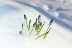 Muscari bleu Photographie stock libre de droits