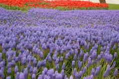 Muscari bleu Image libre de droits