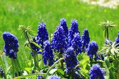 Muscari bleu Image stock