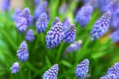 Muscari bleu de fleurs au printemps photos stock