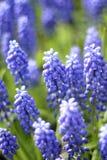 Muscari blu Immagini Stock