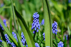 Muscari Stock Images