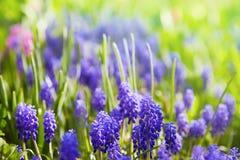 Muscari. Blue spring flower, Grape Hyacinth, Muscari racemosum royalty free stock image