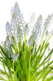Muscari blue spring flower potted plant Stock Images