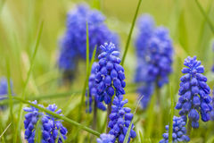 Muscari bothryoides Stockbild