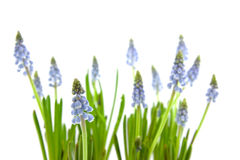 Muscari botryoides Royalty Free Stock Photos