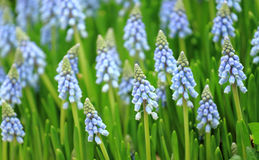 Muscari botryoides Royalty Free Stock Images