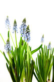 Muscari botryoides. Flowers isolated on white background royalty free stock photography