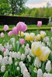 Muscari botryoides en tulpenbloemen Royalty-vrije Stock Afbeelding