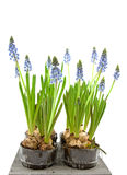 Muscari botryoides flowers Stock Photo
