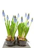 Muscari botryoides flowers Stock Photo