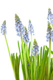 Muscari botryoides flowers Royalty Free Stock Image