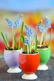 Muscari botryoides flowers Stock Images