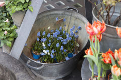 Muscari botryoides flowers also known Stock Image