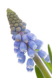 Muscari botryoides flowers ( blue grape hyacinth) Stock Image