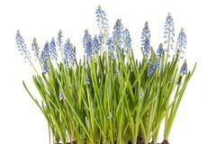 Muscari botryoides flowers (blue grapes) Stock Images