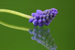 Muscari botryoides Royalty Free Stock Photography